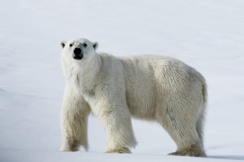 Eisbär 5