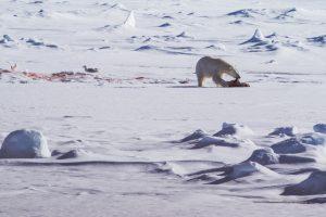 Eisbär mit Beute