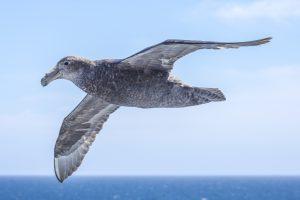 Hallsturmvogel 2